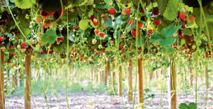 Culture de fraises via SOA