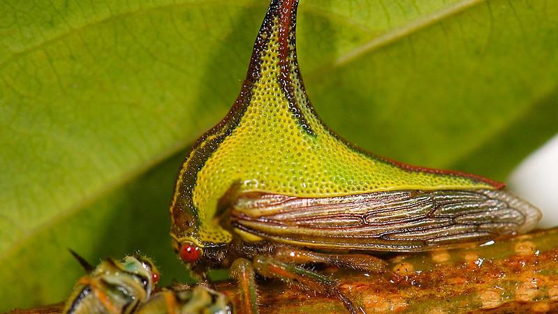 Umbonia Spinosa