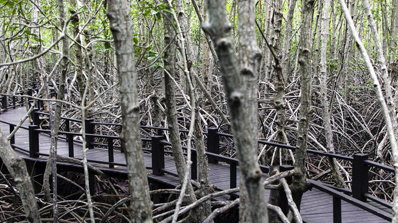 Bayou mangrove